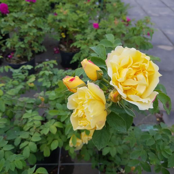 Роза гибрид ругозы Топаз Джевел