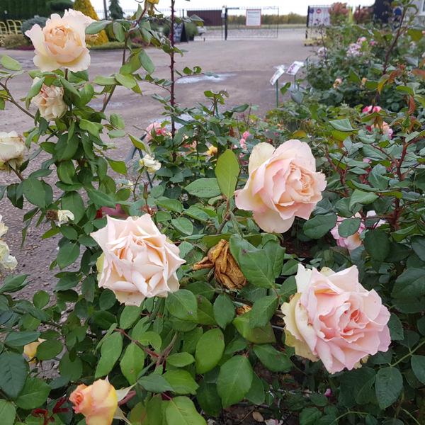 Роза чайно-гибридная Таити