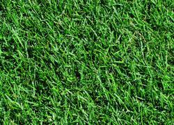 Мя́тлик лугово́й — многолетнее растение; вид рода Мятлик семейства Злаки; кормовая трава, один из самых ранних злаков.