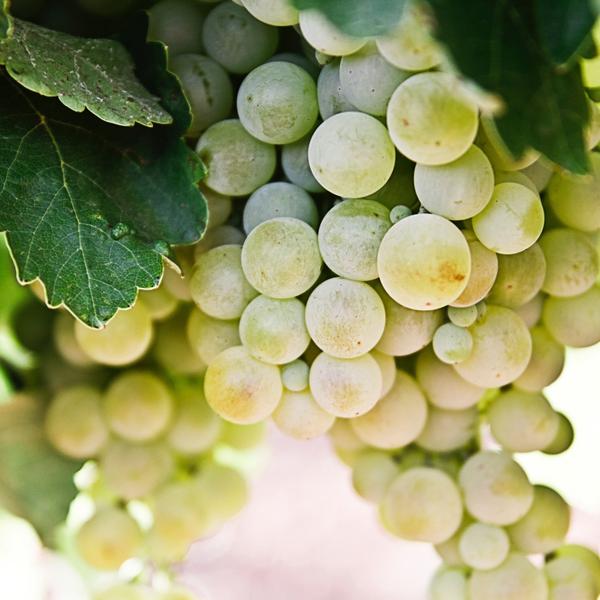 Виноград «Галахад»
