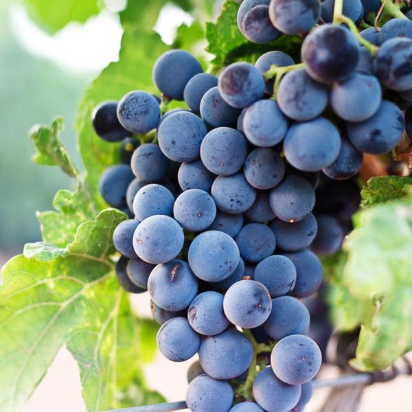 Виноград «Августа»