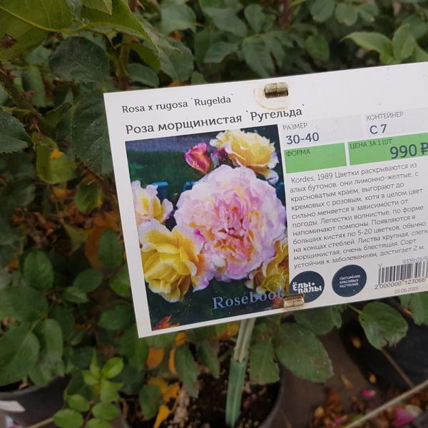 Роза морщинистая Ругельда